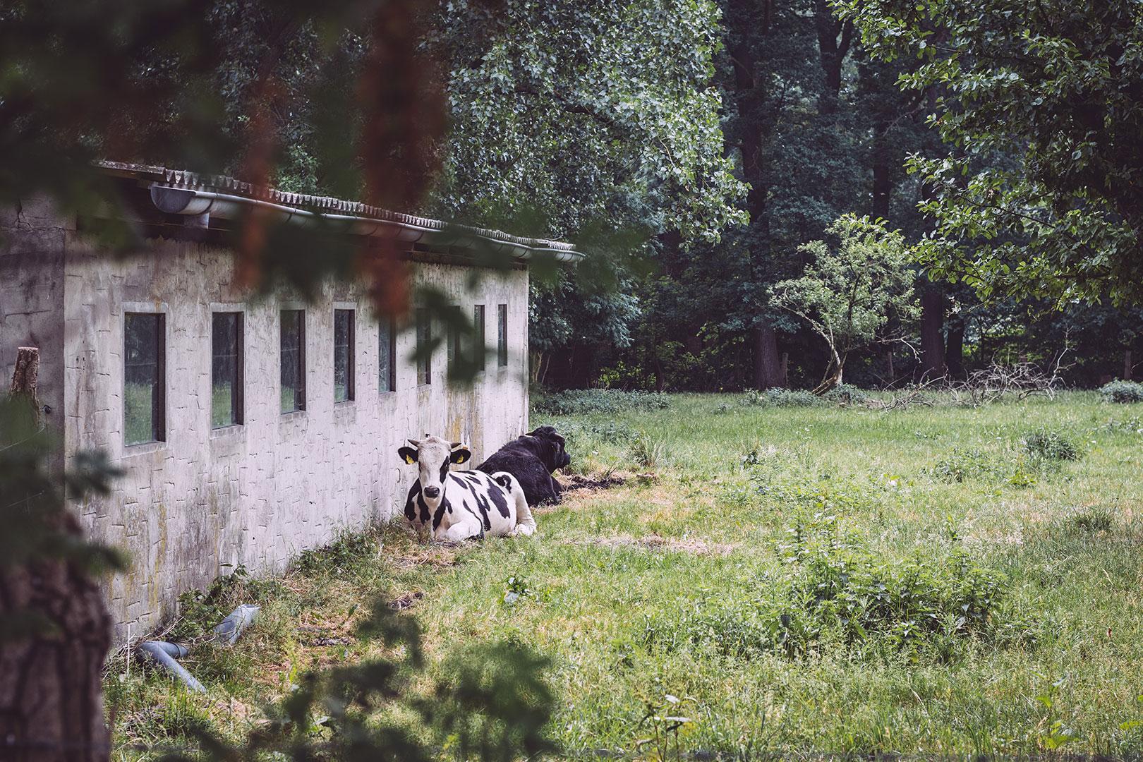 Kühe in Hassendorf (Sottrum, Niedersachsen)
