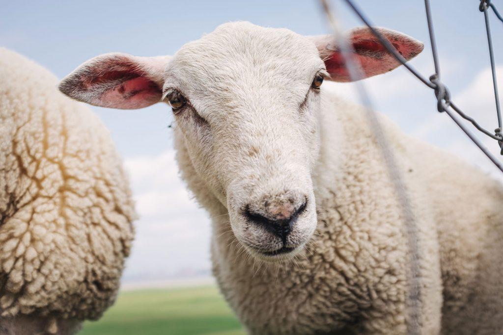 Schaf in Blexen