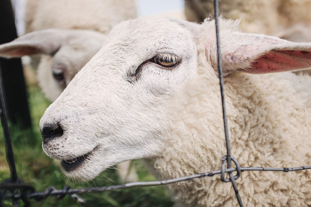 Schafe in Blexen