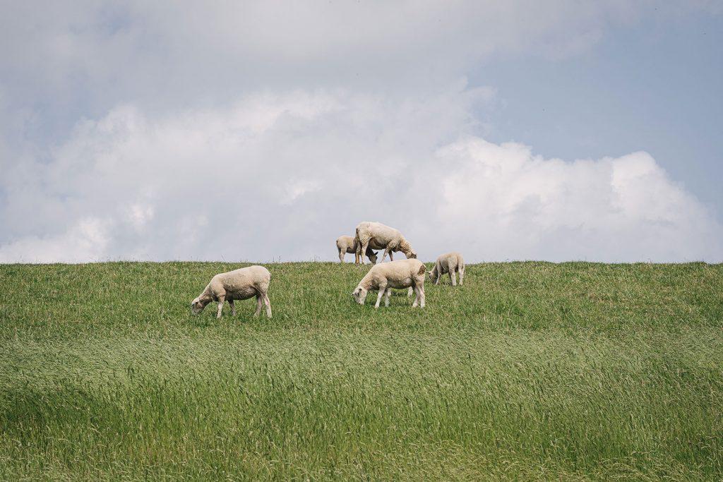 Schafe auf dem Deich bei Blexen
