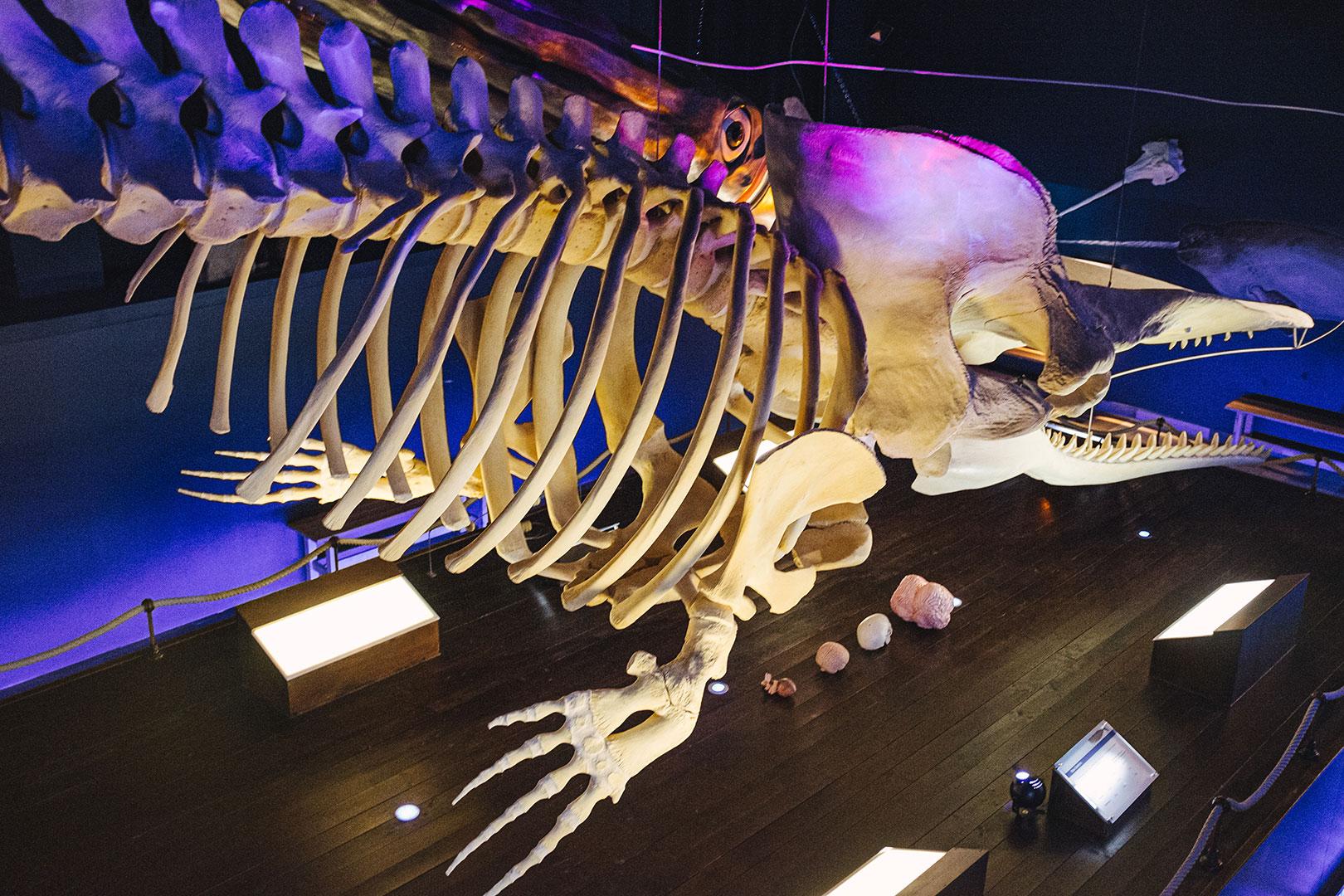 Pottwal-Skelett im Waloseum in Norddeich
