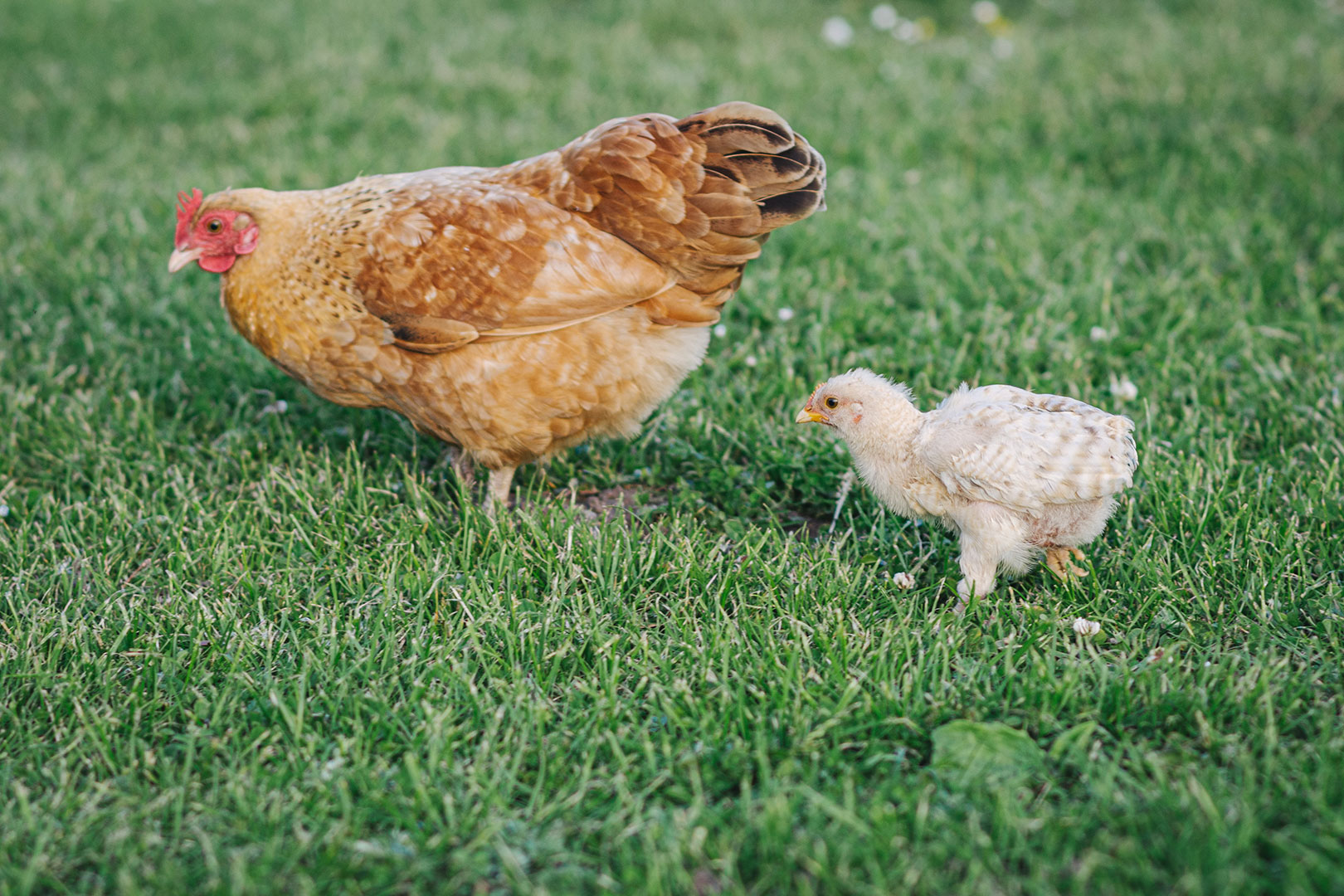 Huhn mit Küken in Utlandshörn