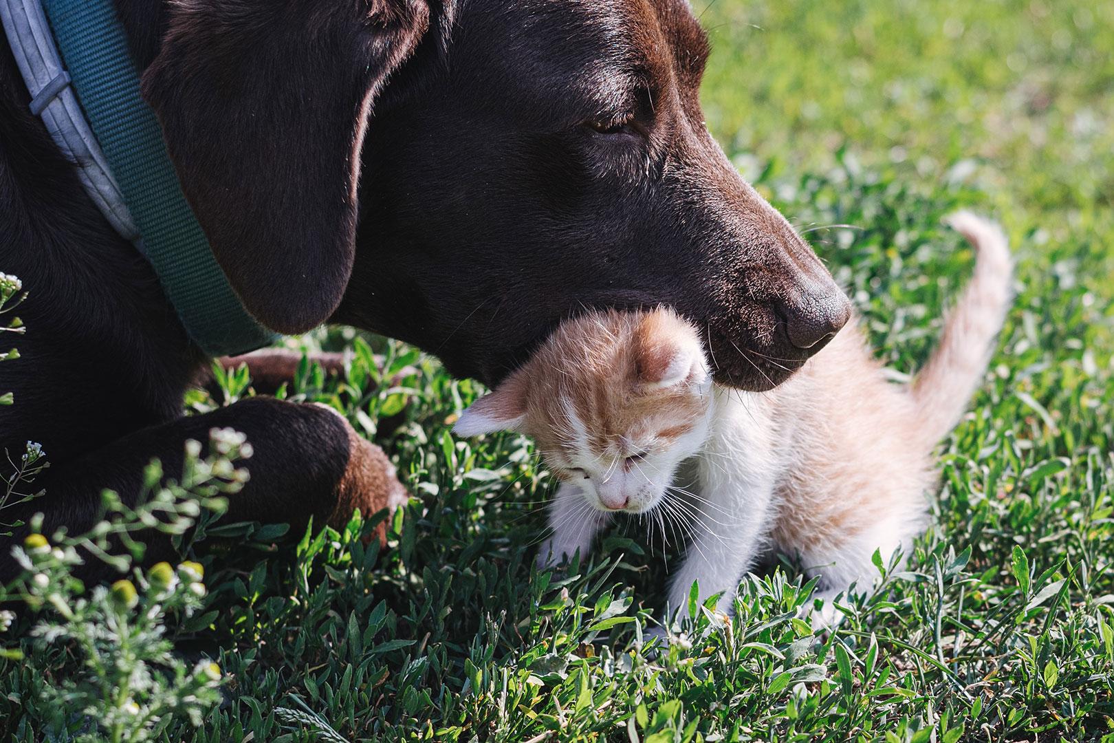 Hund hält Katzenbaby