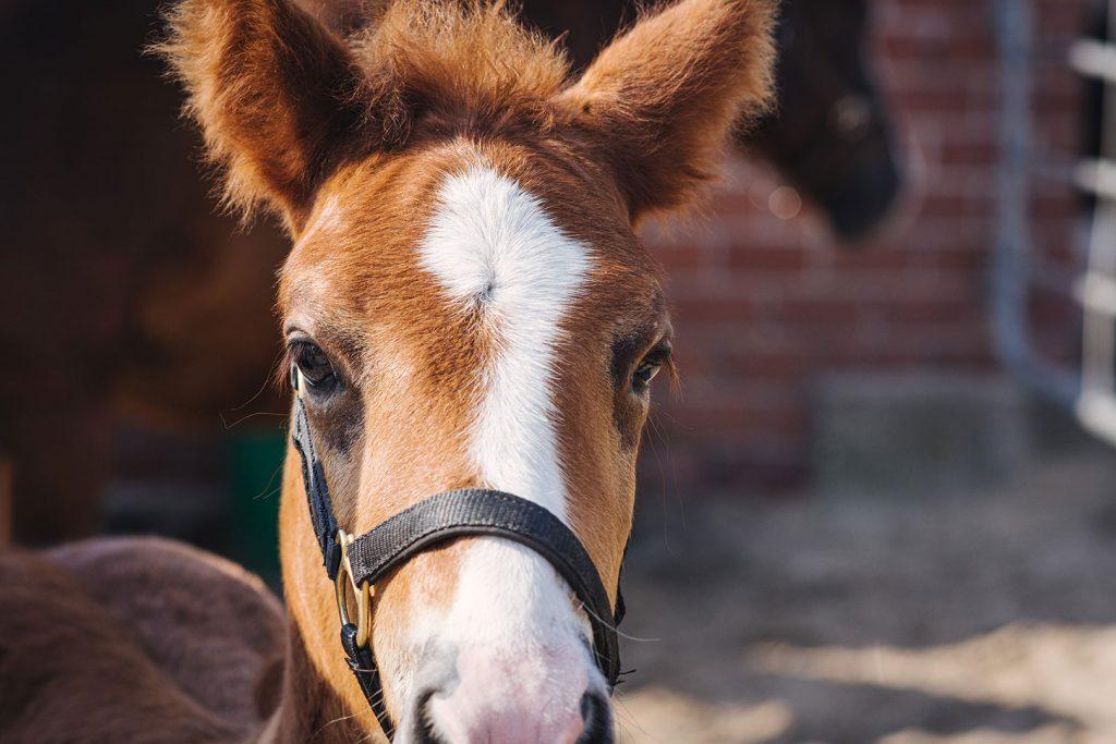 Fohlen Milo der Lazy Horse Ranch