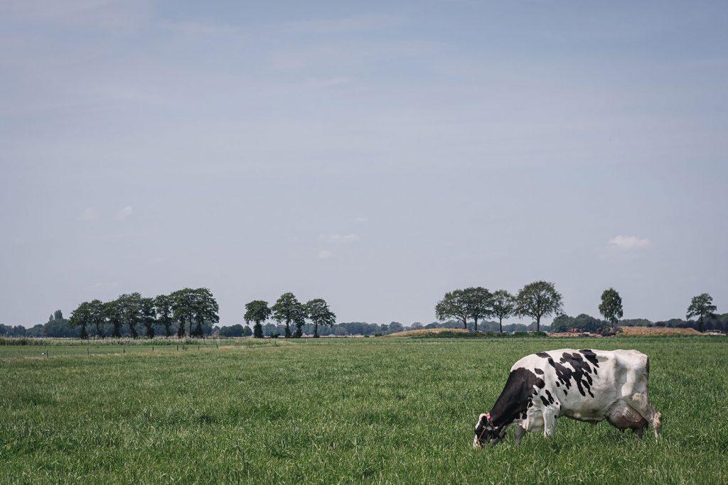 Kuh in Nieuw-Schoonebeek