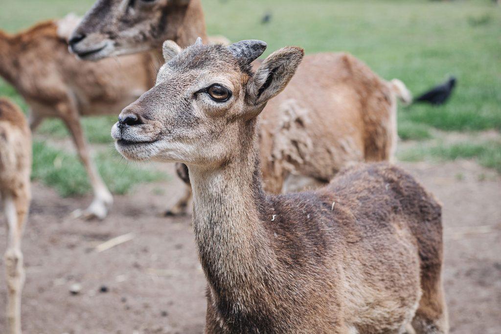 Damwild im Tierpark Weeze