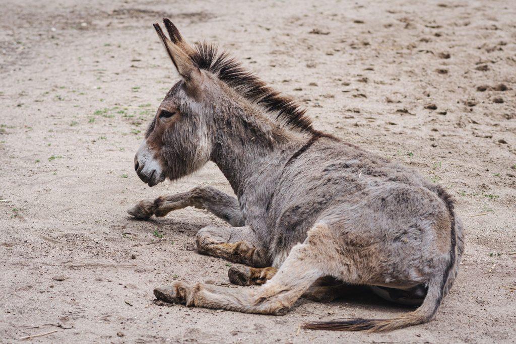 Esel im Tierpark Weeze
