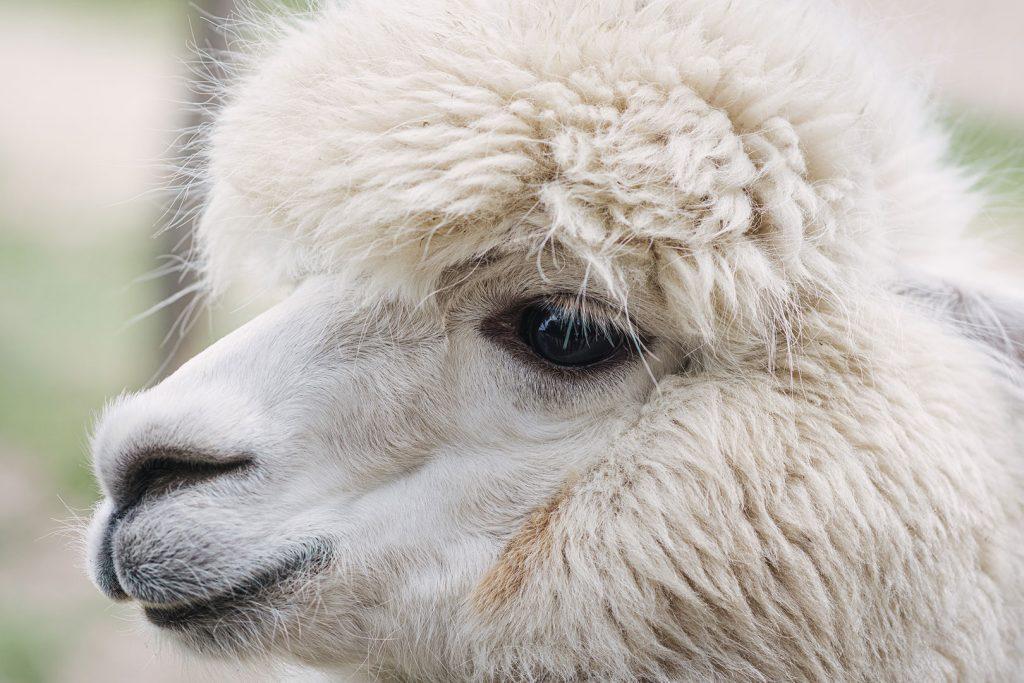 Alpaka im Tierpark Weeze
