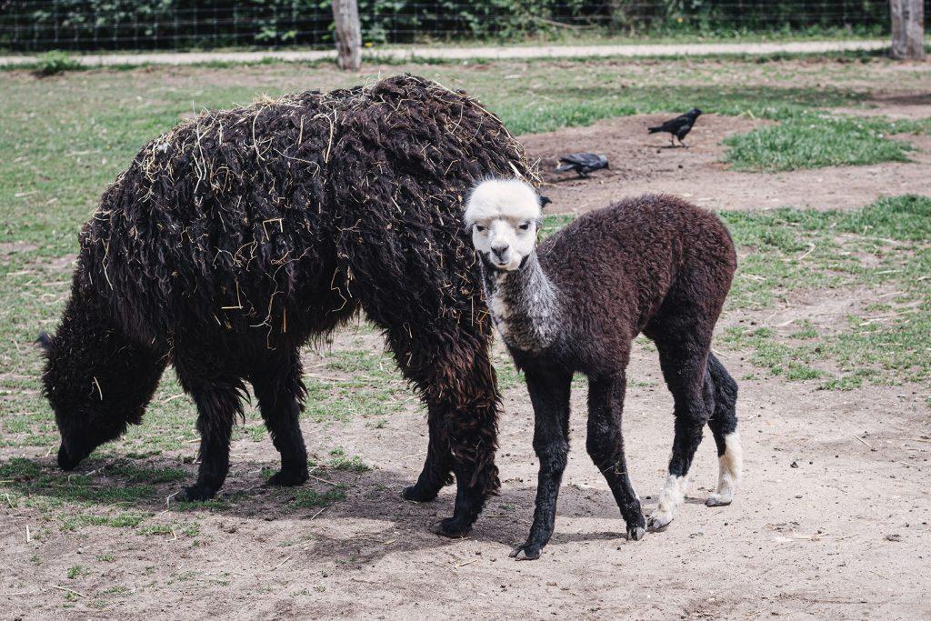 Alpakas im Tierpark Weeze