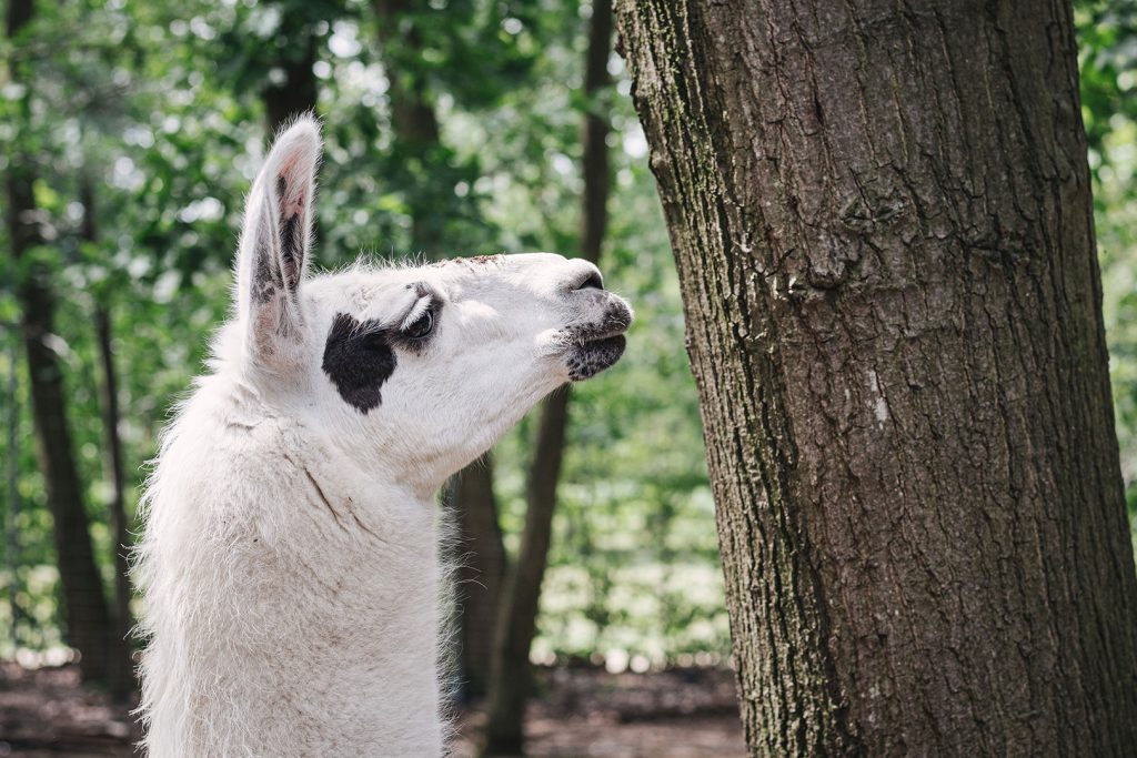 Lama im Tierpark Weeze