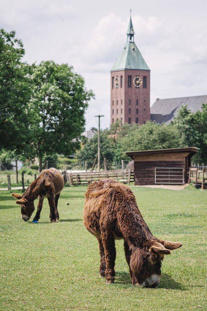 Poitou-Esel im Tierpark Weeze