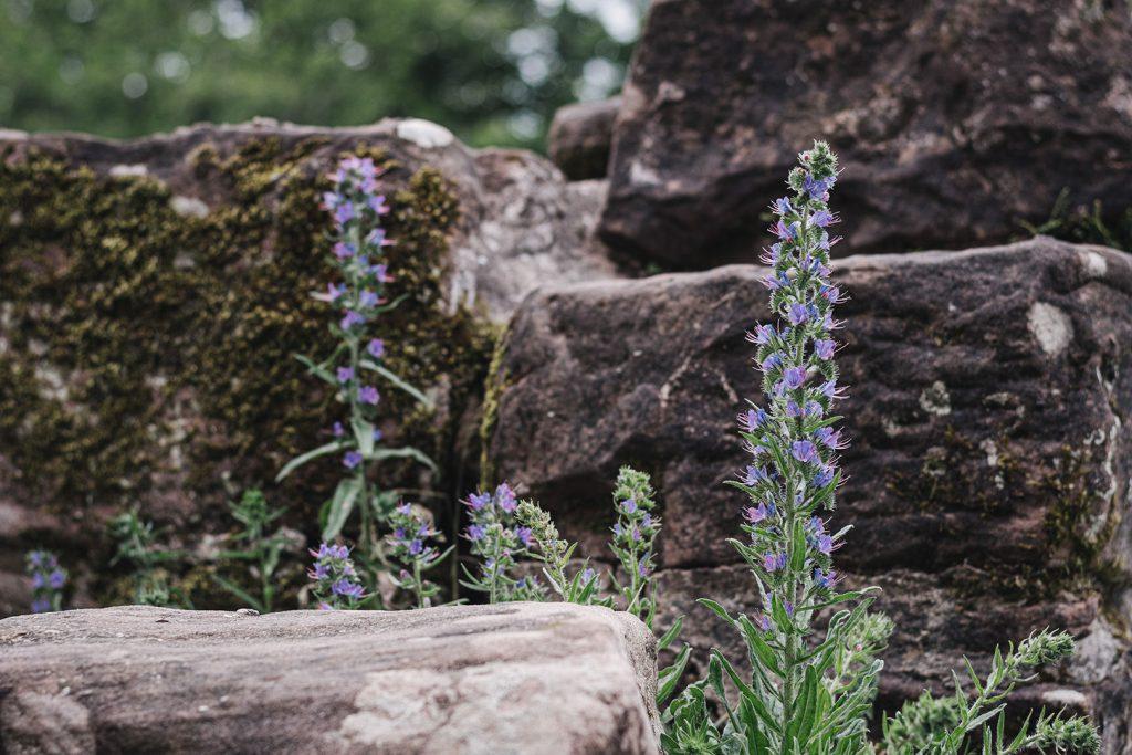 Blume auf der Burg Fleckenstein