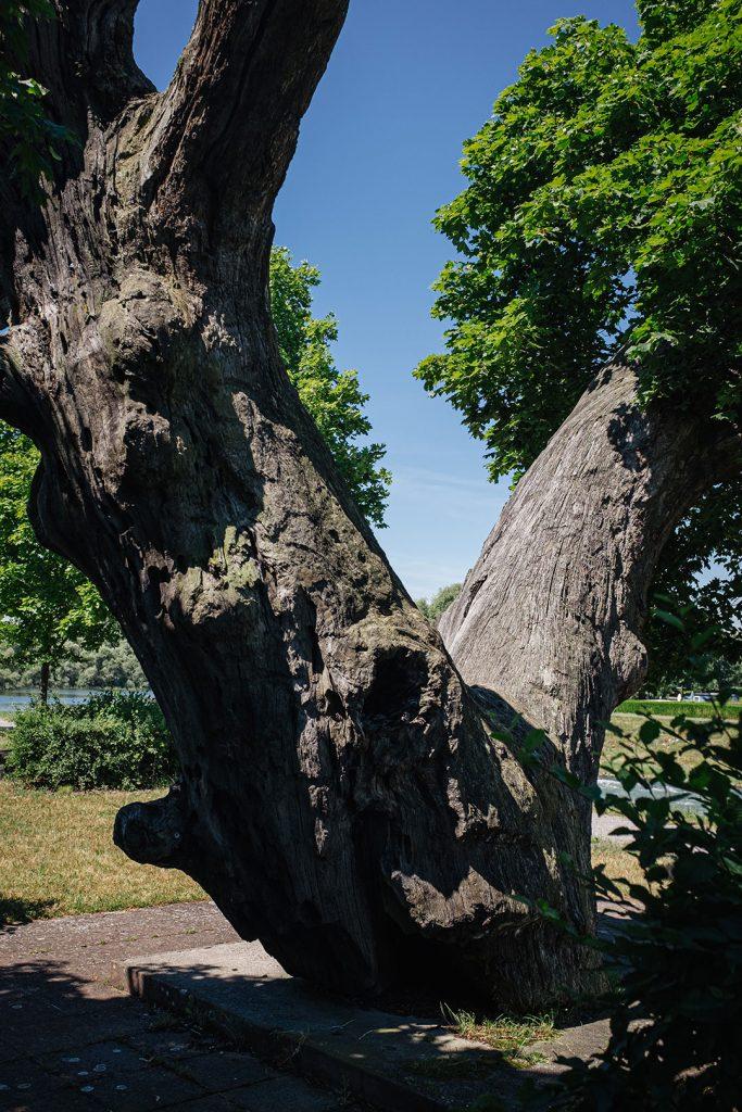Baum in Munchhausen