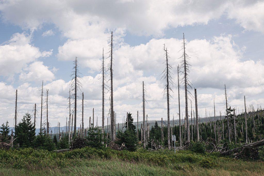 Bäume am Dreisesselberg