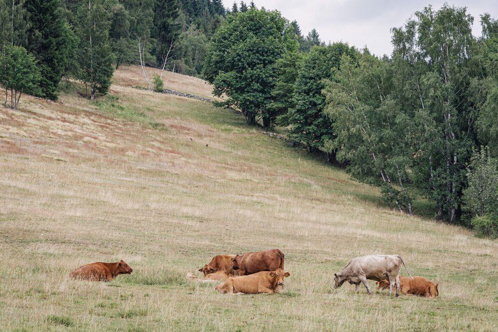 Kuhweide in Tschechien
