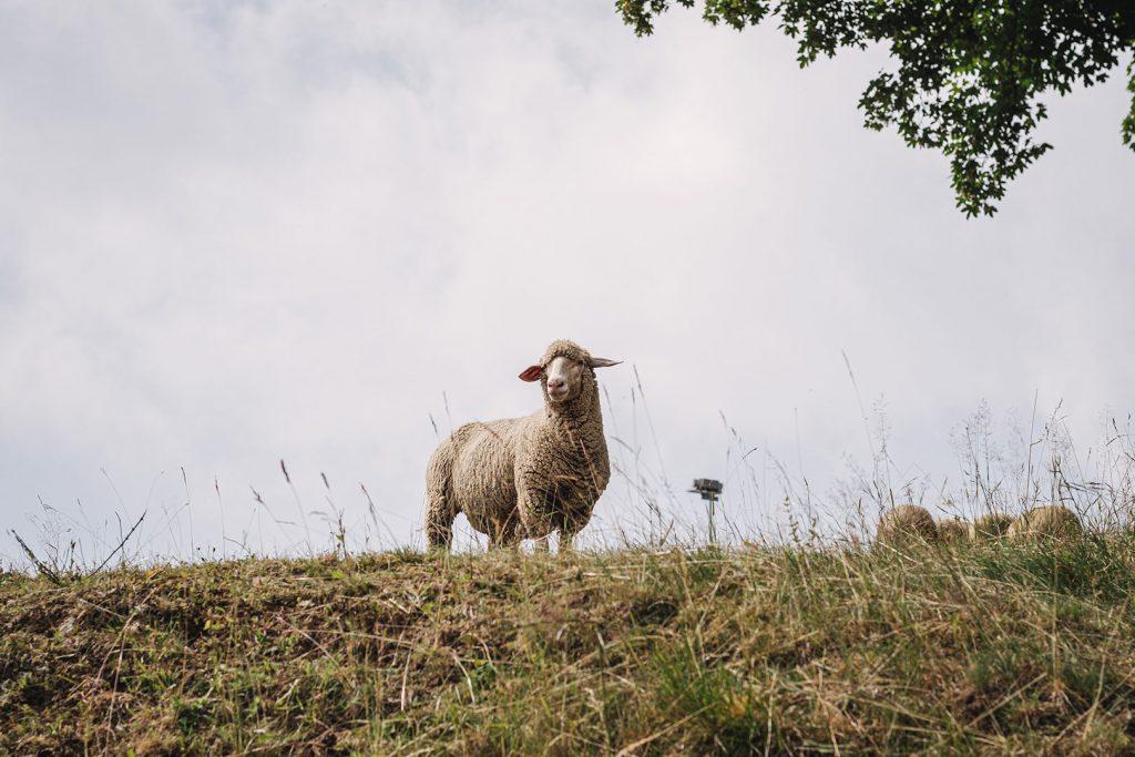 Schaf in Oberwiesenthal