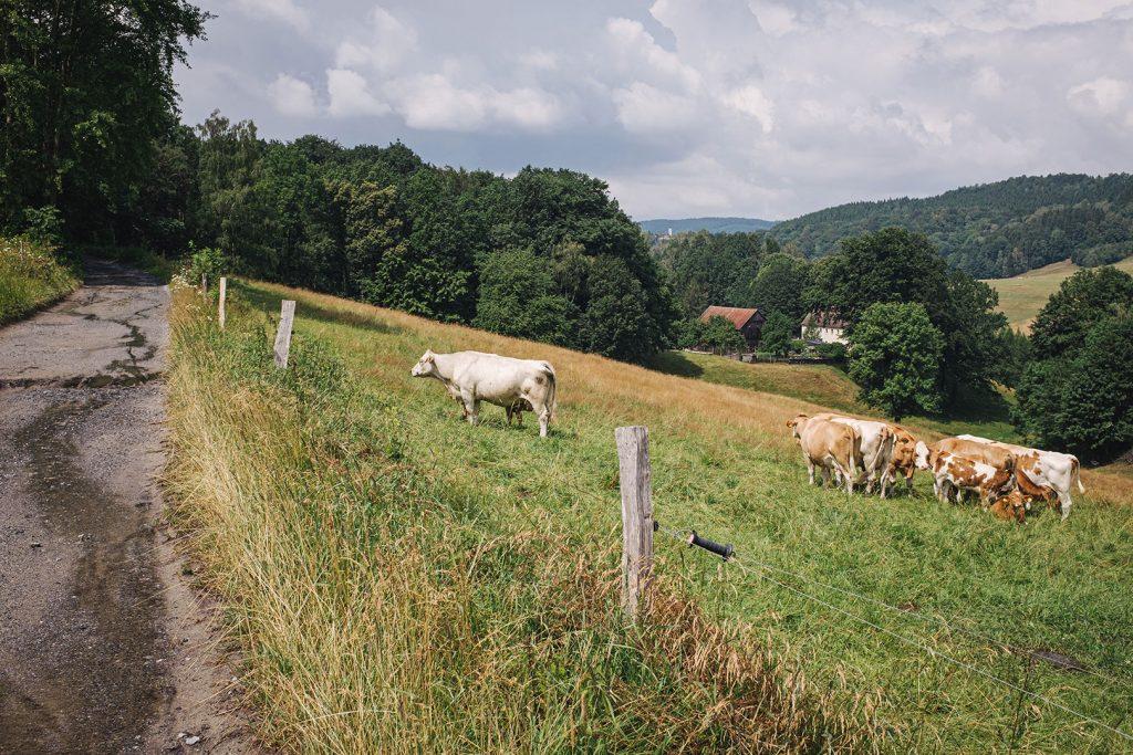 Kuhherde in Hertigswalde (Drehort Inglourious Basterds)