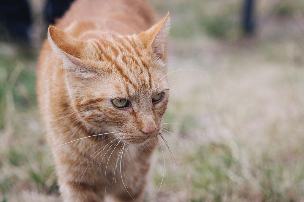 Katze in Königstein