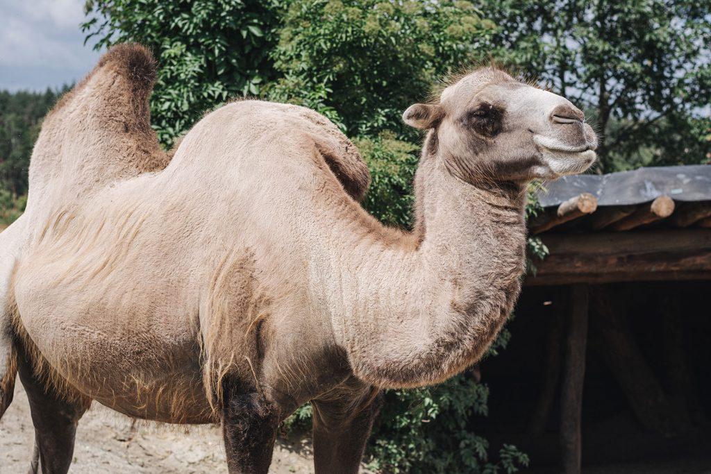"""Kamel am Abenteuerfreizeitpark """"Die geheime Welt von Turisede"""""""