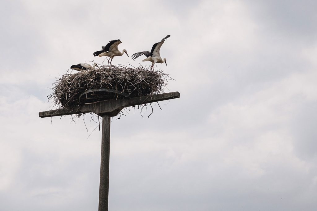 Storchenfamilie in Criewen