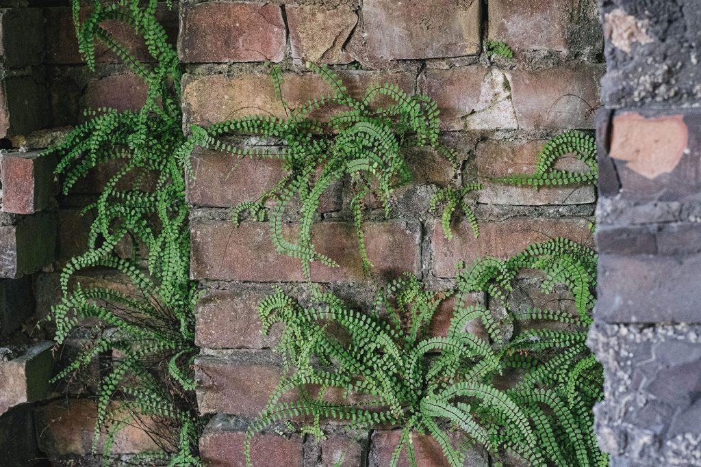 Pflanzen an einer Mauer in der Ruine Prora