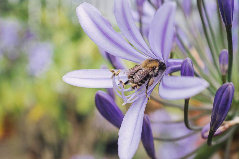 Biene in einer Blume auf der Insel Poel