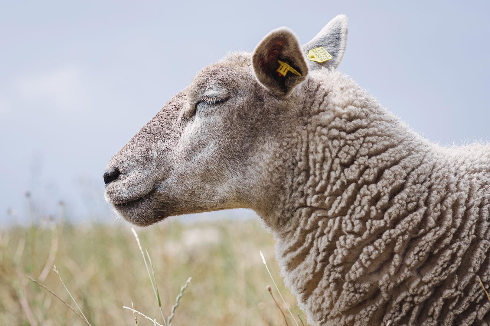 Chilliges Schaf an der Fehmarnsundbrücke