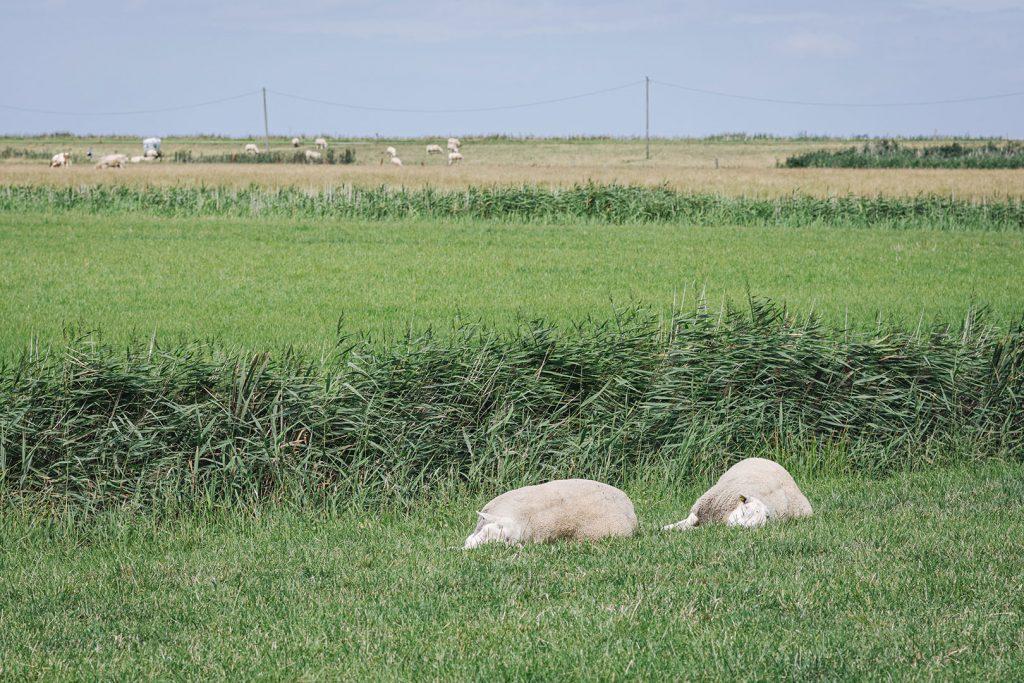 Schlafende Schafe im Rickelsbüller Koog