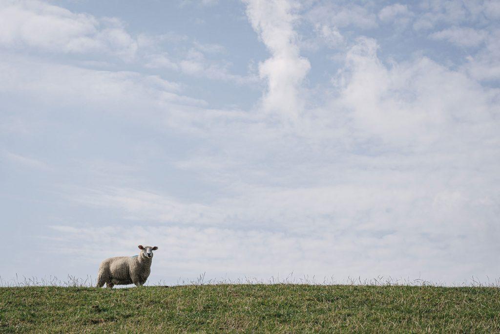 Schaf auf dem Deich in Südwesthörn