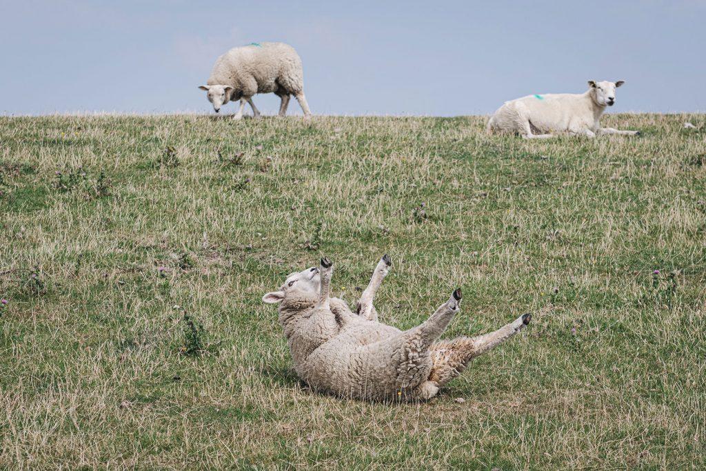 Schaf in Ockholm