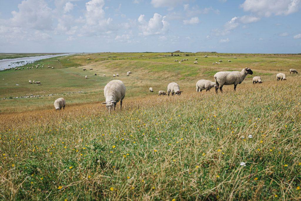 Schafe am 54. Nördlichen Breitengrad