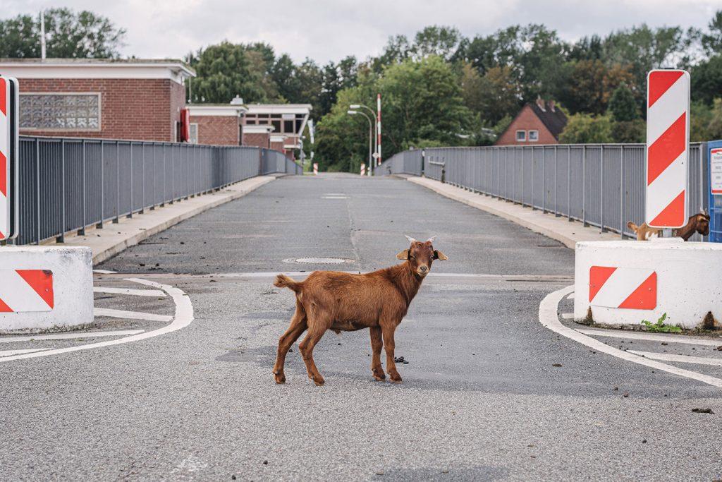 Ziege auf der Straße