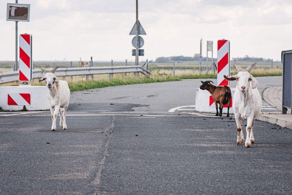 Ziegen laufen über Straße
